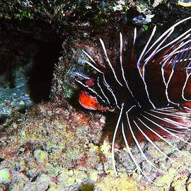 Clearfin Lionfish by Christina Ford