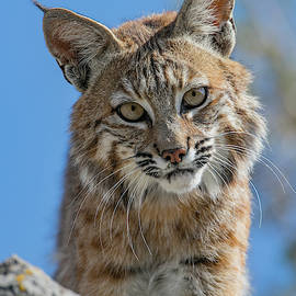 Kent Keller - Clifftop Bobcat