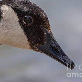 Close up Goose Portrait by Alma Danison