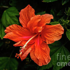 Close Up Hibiscus by Robert Bales