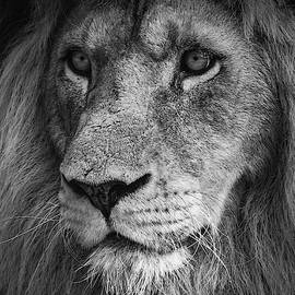 Close Up Of A Lion King by Tazi Brown
