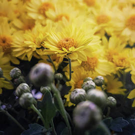 Close up of flowered yellow chrysanthemums and unflowered buds.  by Psycho Shadow