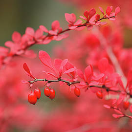 Close-up of red barberry in autumn by Juhani Viitanen