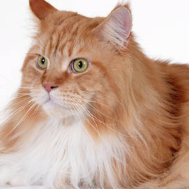 Close up portrait of young beautiful adult big orange main coon cat, indoor, photo series 4. by Akos Horvath Decor