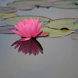 Closeup blooming water lily or lotus flower, with reflecting on the water, photo series 2. by Akos Horvath