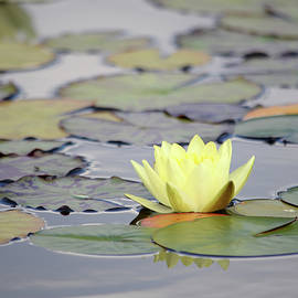 Closeup blooming water lily or lotus flower, with reflecting on the water, photo series 7. by Akos Horvath