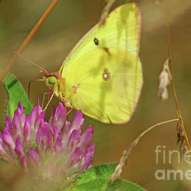 Clouded Sulfur Butterfly by Maili Page