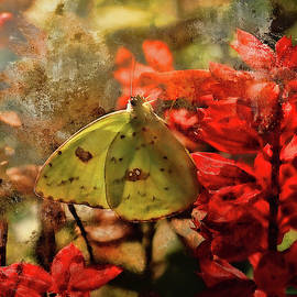 Cloudless Sulphur And Red Salvia by HH Photography of Florida