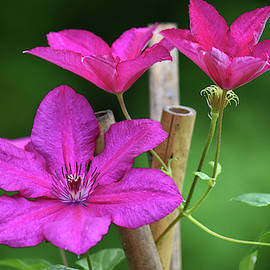 Cluster of Clematis by Maria Keady