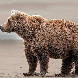 Coastal Brown Bear on Salmon Watch by Gary Langley
