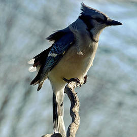 Cindy Treger - Cold And Windblown - Blue Jay