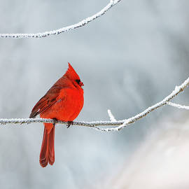 John Radosevich - Cold Male Cardinal