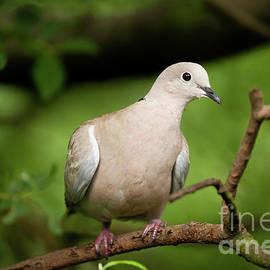 Collared dove wild bird in a tree by Simon Bratt Photography LRPS