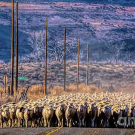 Colorado Autumn Sheepherding by Janice Pariza