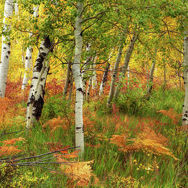 Colorful Aspen Forest by Tim Reaves