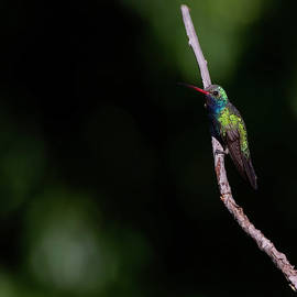 Colorful Broad-Billed Hummingbird  by Ruth Jolly