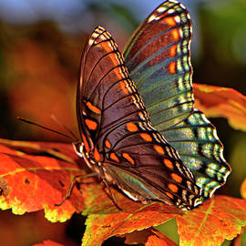 Colorful Butterfly On The Autumn Leaves 002 by George Bostian