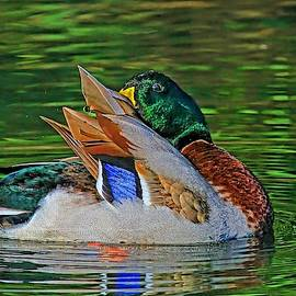 HH Photography of Florida - Colorful Mallard Drake Preening