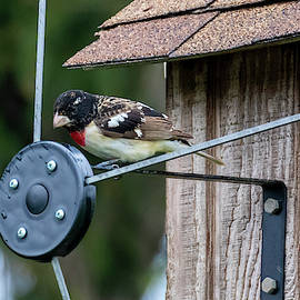 Colorful Red-Breasted Grosbeak  by Ricky L Jones