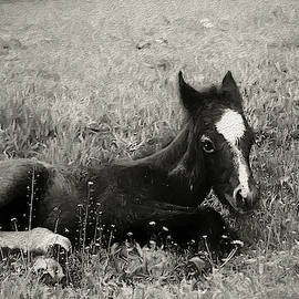 Colt In Black And White - Painting by Ericamaxine Price