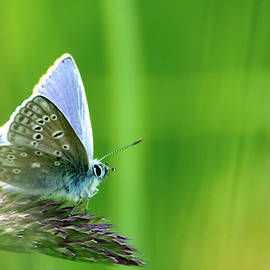 Common Blue Butterly by Scott Lyons
