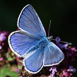 Common Blue Like The Oregano by Torbjorn Swenelius