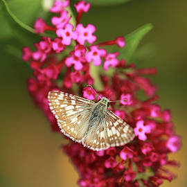 Common Checkered Skipper by Stamp City