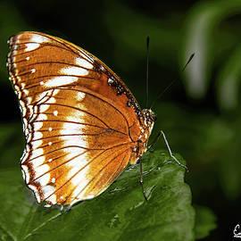 Common Crow Butterfly by Edelberto Cabrera