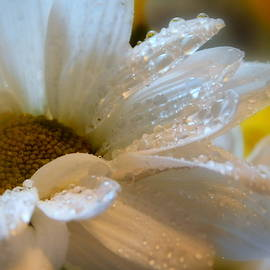 Common Daisy - 1 by Arlane Crump