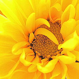 Common Daisy - 2 by Arlane Crump