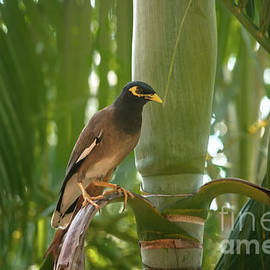 Common Myna by Michelle Meenawong