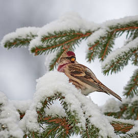 Jouko Lehto - Common redpoll winter portrait