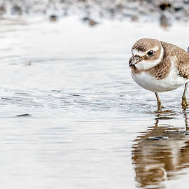 Common Ringed Plover by G Ben