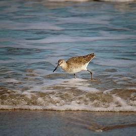 Common Sandpiper by Cynthia Guinn
