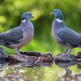 Common Wood Pigeons meeting at the waterhole by Torbjorn Swenelius