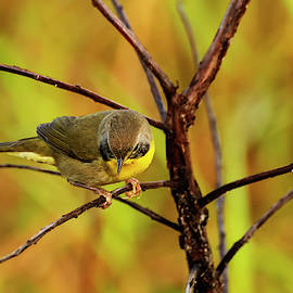 Common Yellowthroat 2 by William Tasker