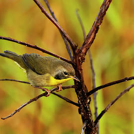Common Yellowthroat by William Tasker