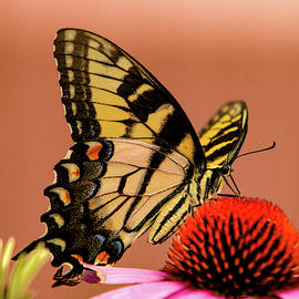 Coneflower And Butterflies by Pete Federico