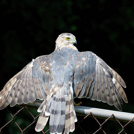 Coopers Hawk 03 by Judy Tomlinson