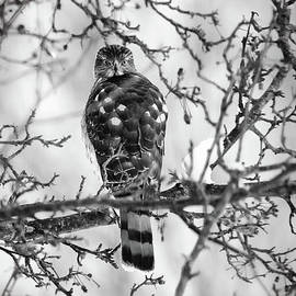 Cooper's Hawk In A Snowy Tree BW by Sharon McConnell