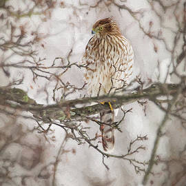 Cooper's Hawk In A Winter Tree by Sharon McConnell