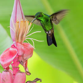 Copper Rumped Hummingbird Feeds On A Banana Flower by Rachel Lee Young