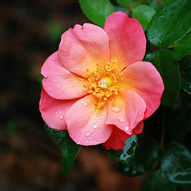 Coral-Pink Rose with Raindrops by Marilyn DeBlock