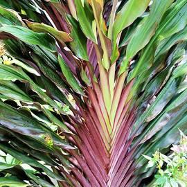 Cordyline New Guinea Fan by Diann Fisher