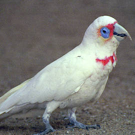 Corella by Jerry Griffin
