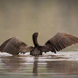 Cormorant #4 by David Heilman