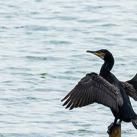 Cormorant At Carsington by Scott Lyons