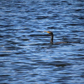 Cormorant Floats In The Blue Water by Cynthia Guinn