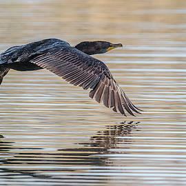 Cormorant In Flight by Morris Finkelstein