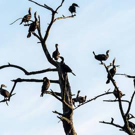 Cormorants In A Snag by Robert Potts